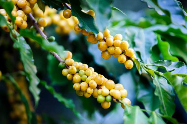 Le Petit Cafetier - Café Brésil Yellow Bourbon Grains